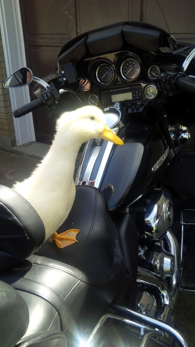 Pecky Rides the Harley